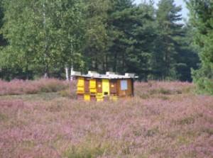 met de bijen naar de heide