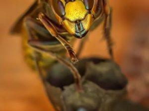 Aziatische hoornaar gespot in Limburg